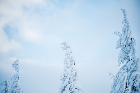 tress: fir tress covered with snow Stock Photo