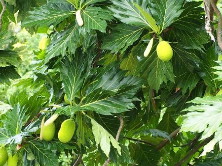 caribe: Breadfruit tree