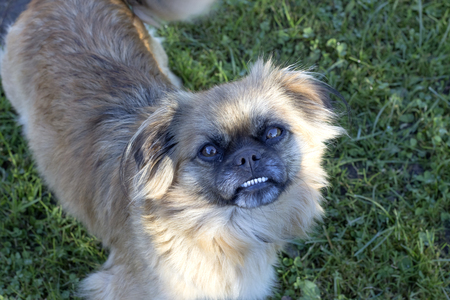 Dog Pekinese on the background of grass
