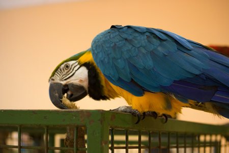 Blue yellow big parrot pecks at the cage
