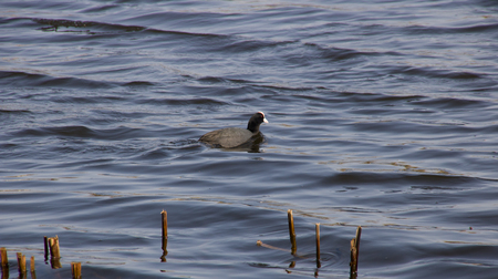 Black duck with a white head floats along the river