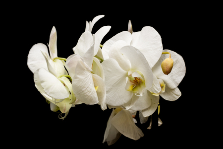 Flowers of white orchids on a black background, isolate, gift
