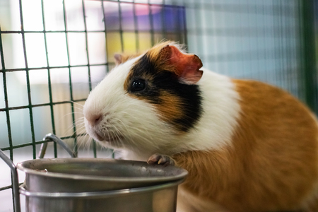 Red Guinea pig in a cage close up, pet rodent 版權商用圖片
