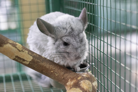 Gray chinchilla sitting on a branch close up