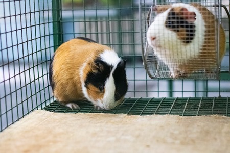 Two red Guinea pig in a cage close up 版權商用圖片