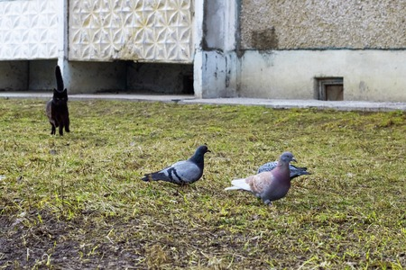 Three pigeons sitting and cat is hunting close up Standard-Bild