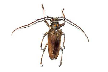 Big brown beetle close up, isolate on a white background