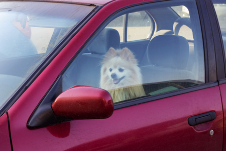 The dog is closed in the car, danger to pets in summer