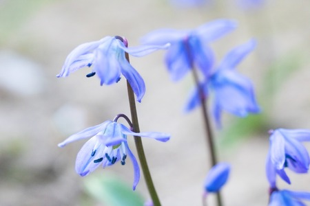 Blue bell flowers close up, macro photo, with copy space