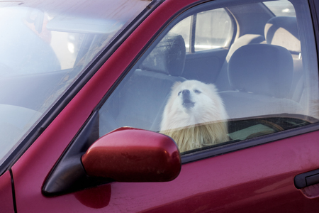 The dog is closed in the car, danger to pets in summer Stock Photo