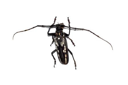 Big brown beetle close up, isolate on a white background, batocera lineolata