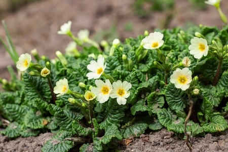Closeup of small yellow flowers and green leaves, spring time Imagens