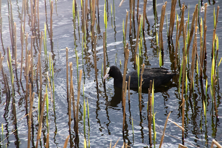 A duck is swimming in the water among the reeds Stok Fotoğraf