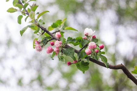 Pink flowers of apple tree on a branch