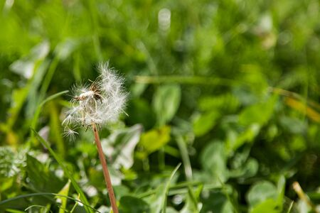 White fluffy dandelion in the wind among green grass, copy space
