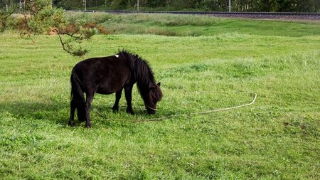 Black pony grazes in a green meadow in the summer