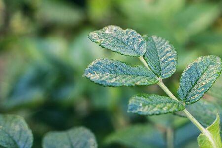 Green leaf of a rosehip bush close up, copy space Banque d'images