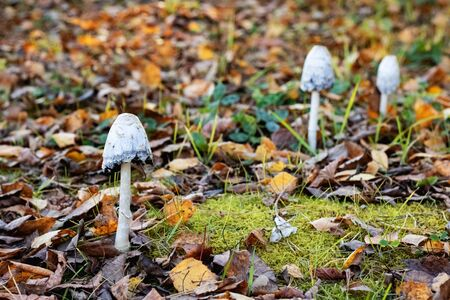Three white poisonous mushrooms among yellow leaves close up Stok Fotoğraf