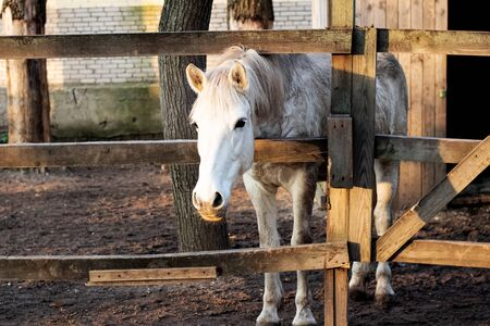 White horse behind a wooden fence close up