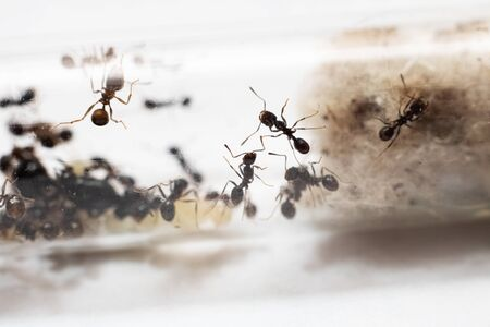 Ants Messor Structor in vitro close up on white background 写真素材