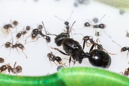Queen ant Messor Structor in formicaria close up