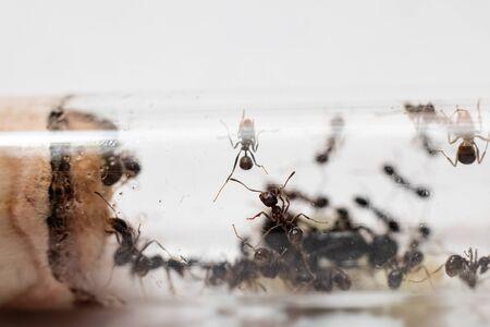 Ants Messor Structor in vitro close up 写真素材