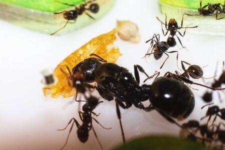 Queen ant Messor Structor in formicaria closeup