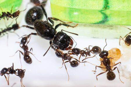 Królowa mrówek Messor Structor w formikaria z bliska