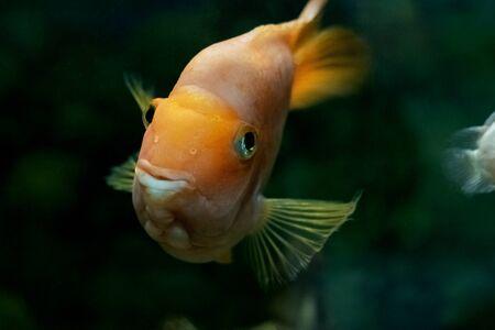 Big yellow fish in dark water in aquarium close up