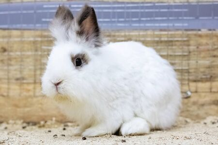 White fluffy domestic rabbit close up in a cage