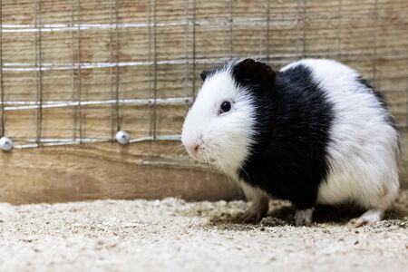 Black white guinea pig in a cage close up
