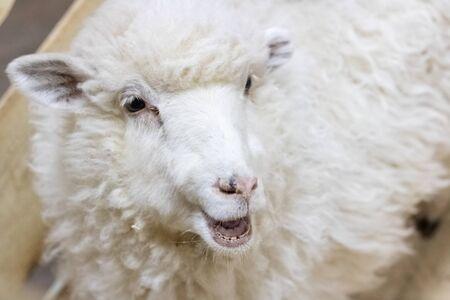 White fluffy sheep in the aviary close up portrait