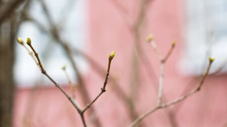 Leafless tree branches with green buds, macro photo Banco de Imagens