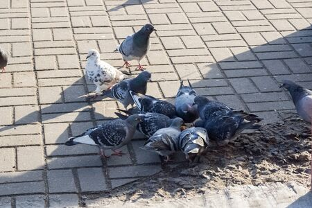 Crowd of pigeons on the sidewalk close up