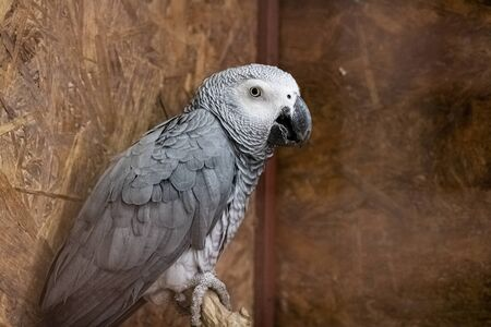 Gray parrot in a cage close up portrait