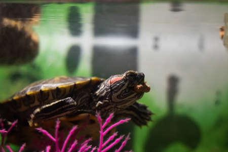 Pond slider in water in an aquarium close up