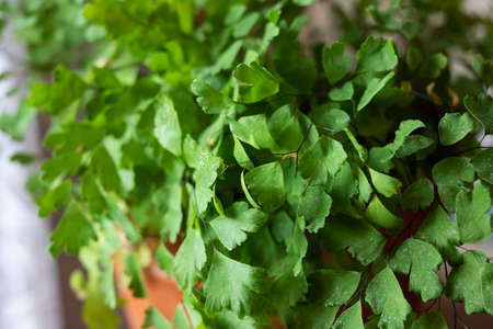 Green triangular leaves of a home plant close up 스톡 콘텐츠
