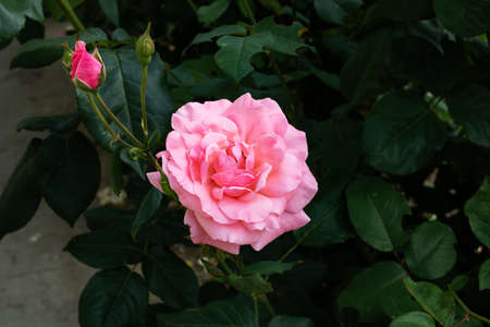 Pink roses on a bush with green leaves