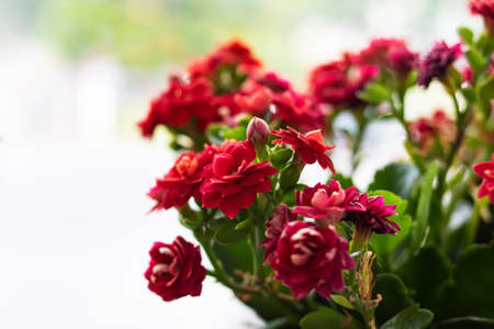Red flowers of a home plant close up 스톡 콘텐츠