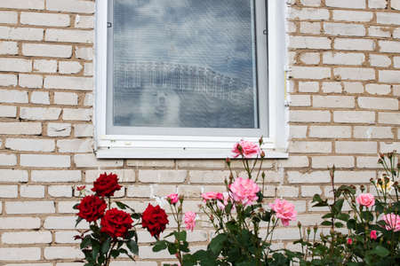 Samoyed dog looks out of the window and bush of roses