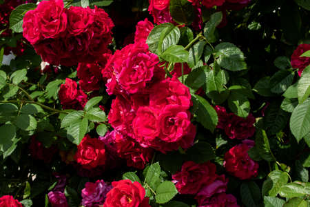 Red roses on a bush with green leaves