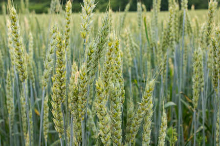 Green spikelets of wheat in the field close up 스톡 콘텐츠
