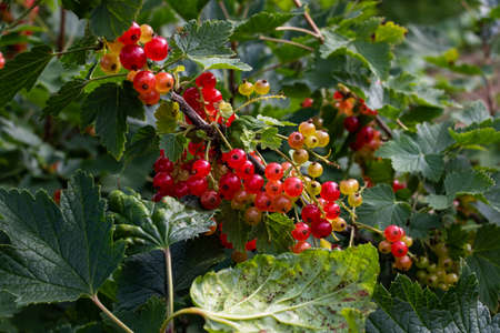 Red currant berries among green leaves close up