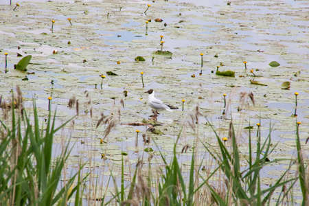 A seagull stands on the water among the reeds