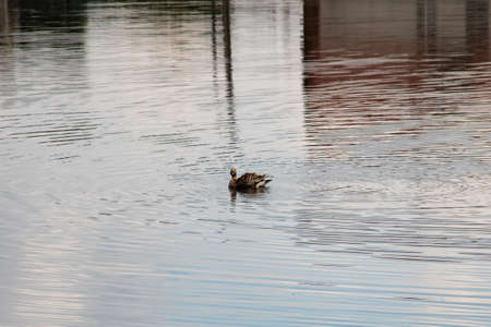 Duck swimming on the gray water closeup 스톡 콘텐츠