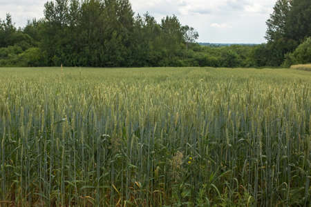 Green spikelets of wheat in the field