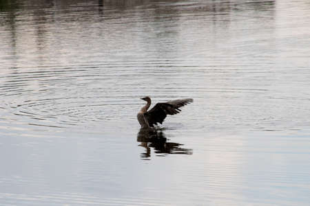 Duck spread its wings on the water