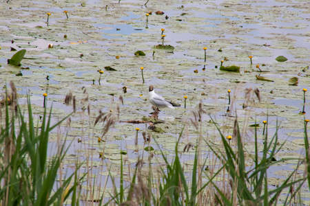 A seagull stands on water among reeds 스톡 콘텐츠