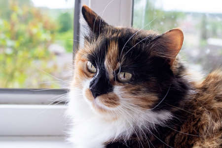 Fluffy cat looks in the frame, close up portrait