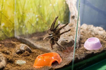 Spider nhandu vulping in a terrarium close up